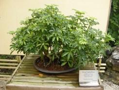 bonsai (5)