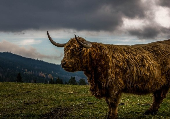 Highland cattle are a Scottish breed.