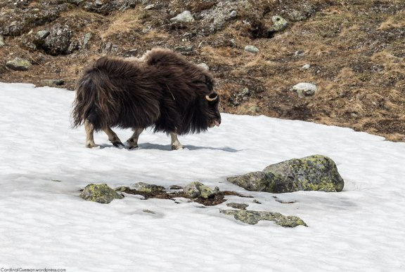 Both male and female muskoxen have long, curved horns.