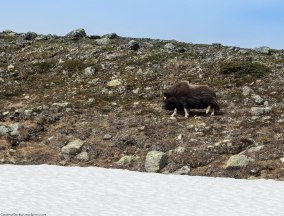 The thick coat and large head suggests a larger animal than the muskox truly is; the bison, to which the muskox is often compared, can weigh up to twice as much.