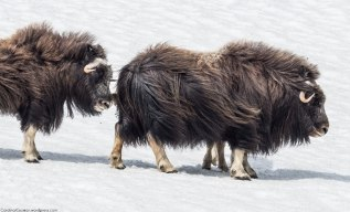 "The mating (or ""rutting"") season of the muskoxen begins in late June or early July. During this time, dominant bulls will fight others out of the herds and establish harems of usually six or seven cows and their offspring."