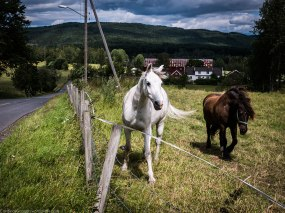 Horses near Maridalsvannet.
