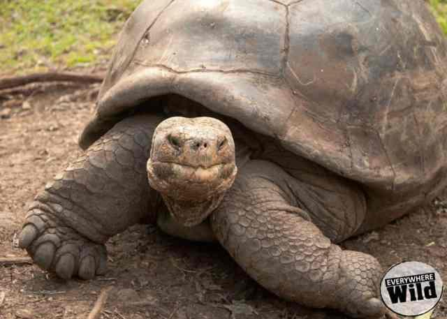 giant-tortoise-galapagos