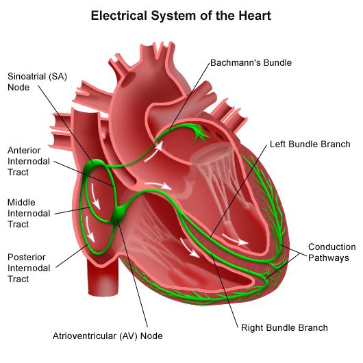 , Sistemul electric al inimii