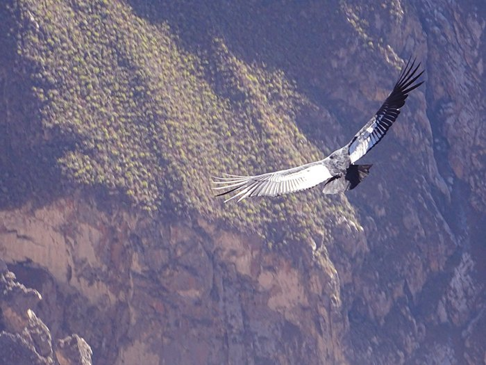 Condor - Mirador Cruz Del Condor - Colca Canyon - Peru