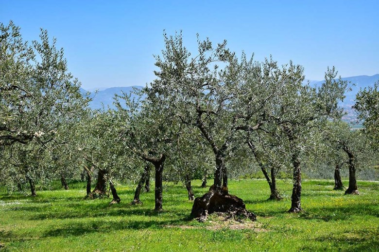 Some of the trees in Montioni's olive groves are more than 100 years old