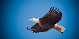 free eagle soaring