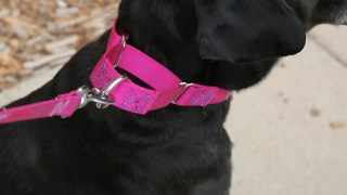 8 Best Martingale Dog Collars: Reviewed 2021