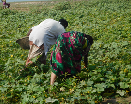 Two women bend over to pick through crops in a field.