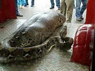 gadis ditelan ular sawa