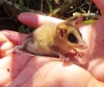 el ratón tlacuache