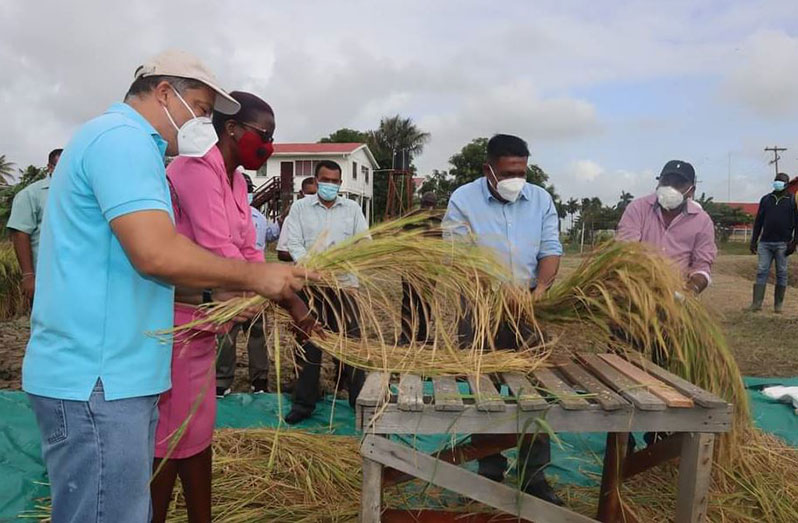 Higher prices expected for new biofortified rice