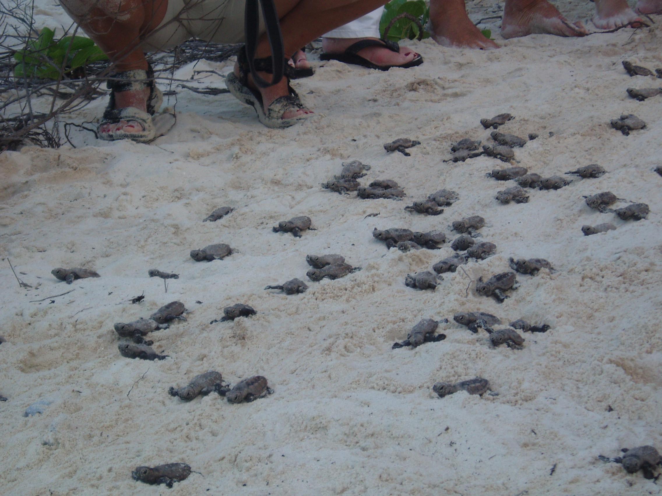 Turtles Hatching at Klein Bonaire