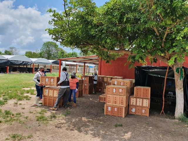 Traslada Profepa más de 9 mil tortugas a unidades de manejo en Quintana Roo y Yucatán