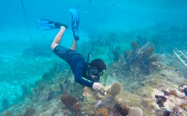 Ambientalistas dan seguimiento a proceso de trasplantes de coral en Cozumel