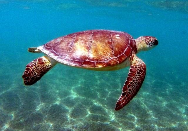 Peregrineros: Tortuga Marina, el ciclo de la vida en el Caribe