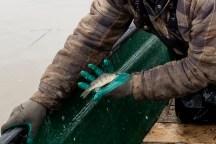 La perchaude est interdite de pêche depuis sept ans, ce qui a coupé les revenus du pêcheur de moitié.