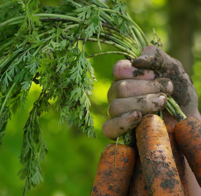 Fermière tient des carottes