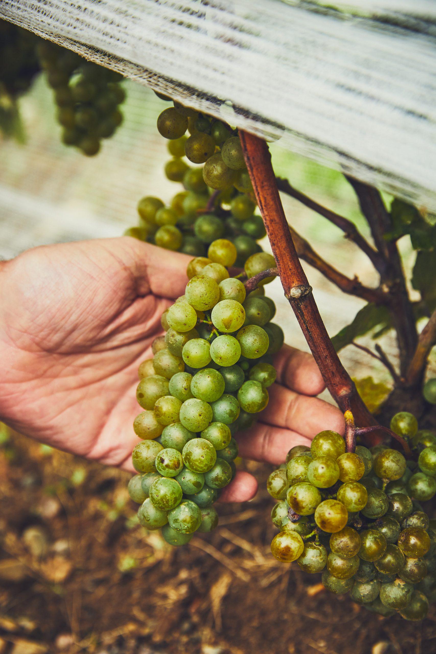 Raisins pour vins d'ici