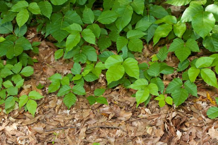 6 Ways To Prevent And Treat Poison Ivy Carilion Clinic Living