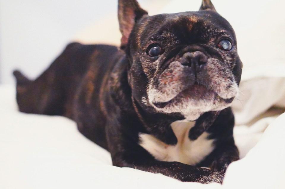 Fransk bulldog, Vopni - Carina Behrens, carinabehrens.com