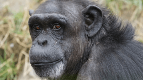 parasitic infection in primates