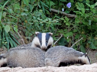 european badger mothers share infant care