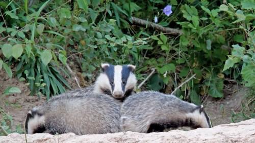 European badger mother