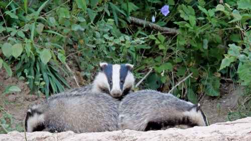 European badger mother