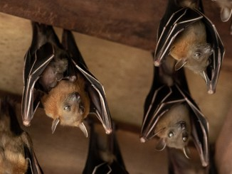 bat moms and young