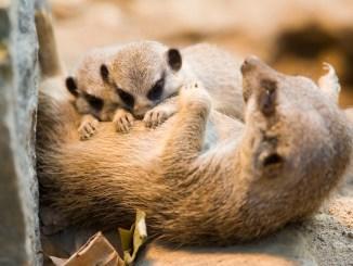 meerkat queen offspring