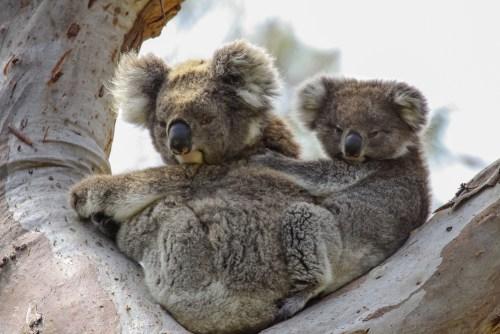 Koala mother