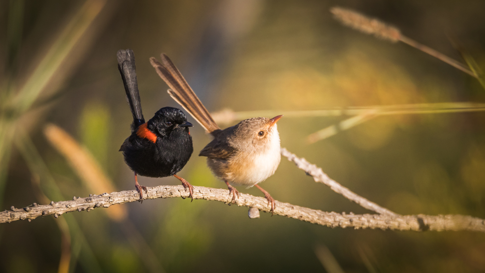 mating calls and duetting of red backed fairy wrens
