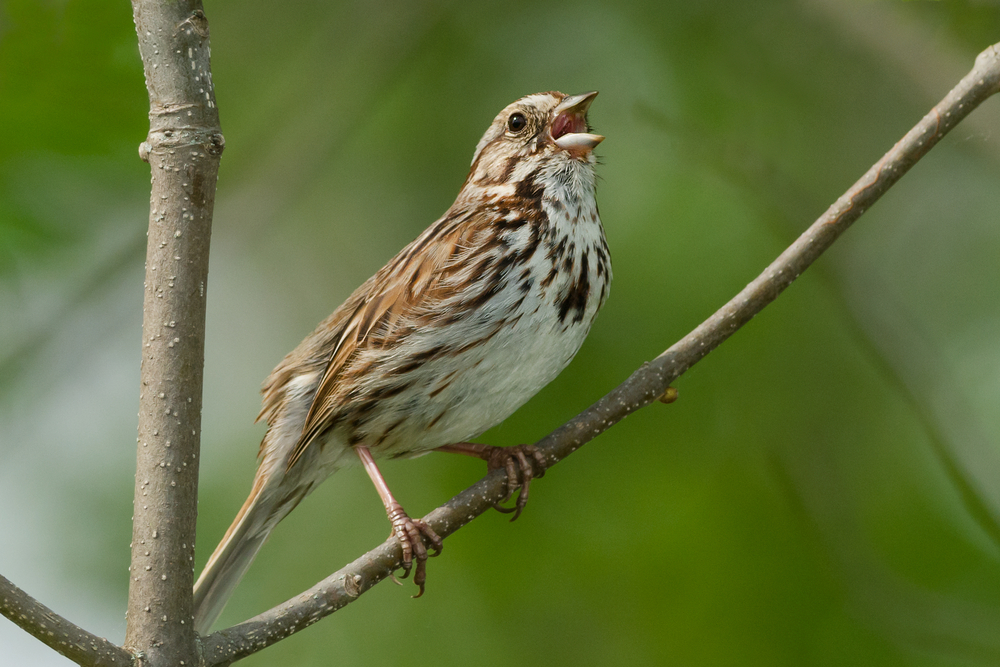 mating calls of song sparrow