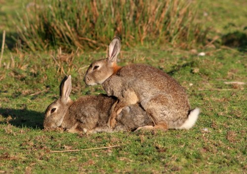 rabbit moms couple ovulation with copulation
