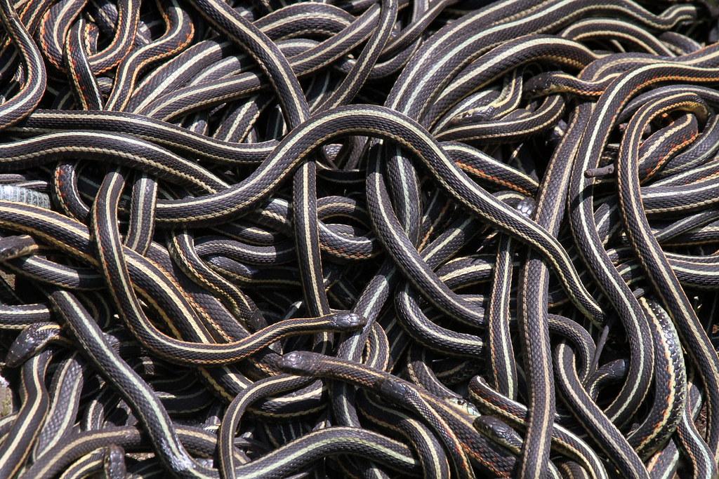 male garter snakes give off female pheromones