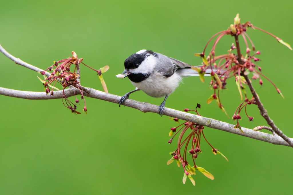 Altruistic chickadees make food signalling calls to each other