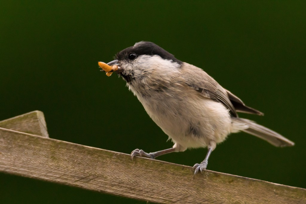 altruistic Carolina chickadees perform food signalling calls to each other