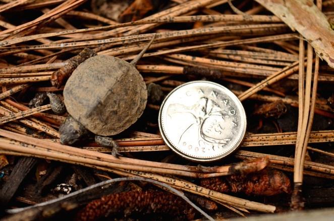 Baby Western Painted Turtle https://www.vernonmorningstar.com/e-editions/?iid=i2018050904140259&&headline=VmVybm9uIE1vcm5pbmcgU3RhciwgTWF5IDksIDIwMTg=&&doc_id=180509111417-a38ab26aa1894d39affe06a221c4d8c7