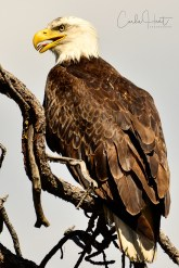 Bald Eagle at an eagle gathering place or roost. Location will not be disclosed for their protection.