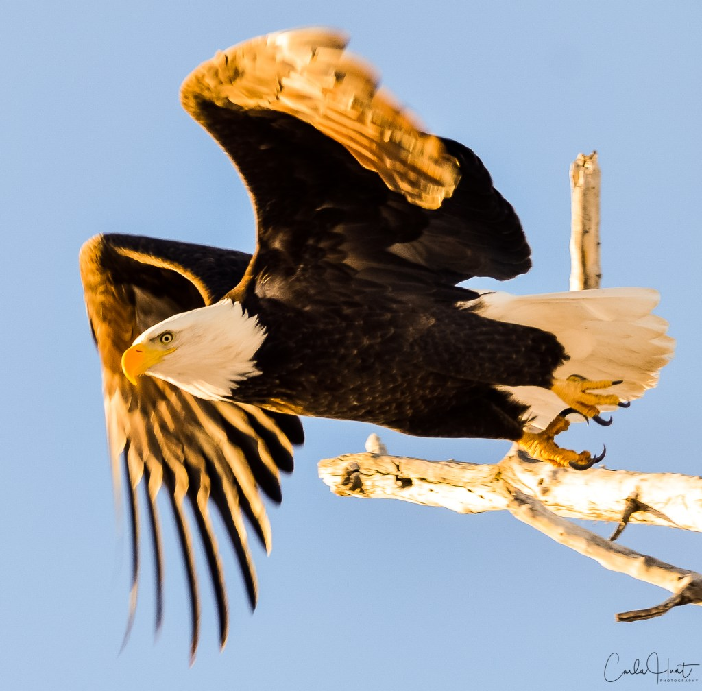 Bald Eagle, Nicola River