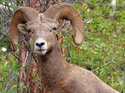 BighornBIG HORN SHEEP Sheep