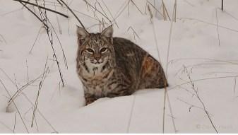 Bobcat, North Okanagan, BC