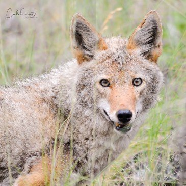 Coyote, Adventure Bay, Vernon, BC