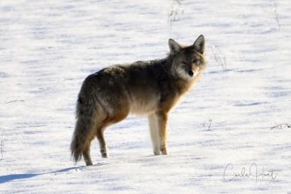Coyote, Swan Lake, Vernon, BC