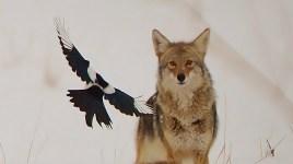 Coyote and Magpie, Commonage, Vernon, BC