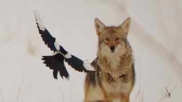 Coyote and Magpie, Commonage, Vernon, BC