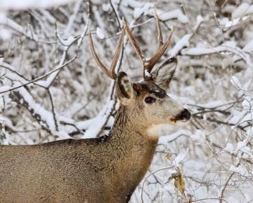 Nice buck, Okanagan Landing, Vernon, BC