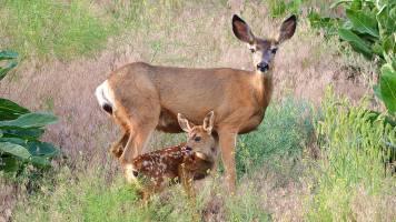 New fawn, Adventure Bay, Vernon, BC