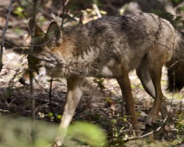 Coyote, BX Trail - Before he noticed me - Vernon, BC